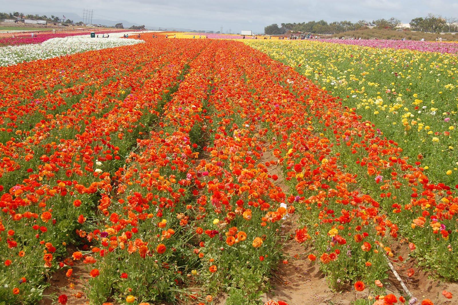 Carlsbad Flower Fields – Guest Post by Natalie Wardel