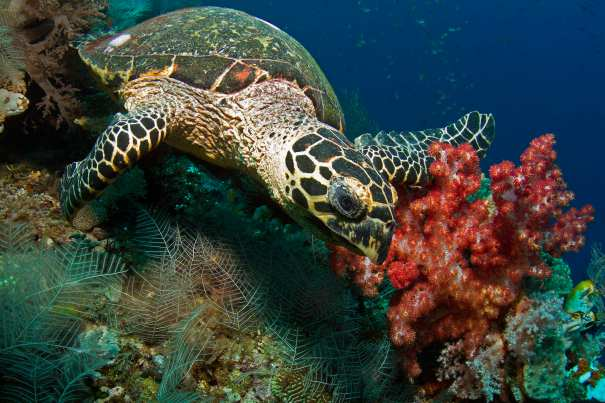 Hawksbill turtle feeding on reef